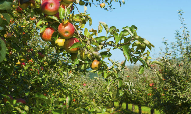 What's In Season: Apples
