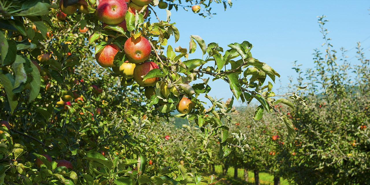 What's In Season: Apples