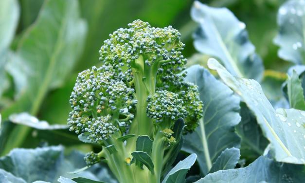 What's in Season: Broccoli