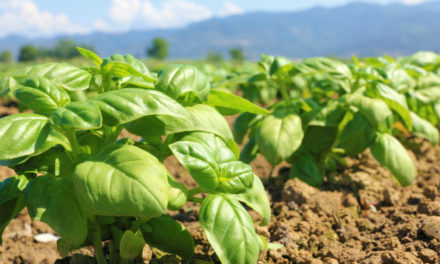 What's In Season: Basil