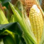 What's In Season: Corn