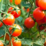 What's In Season: Tomatoes